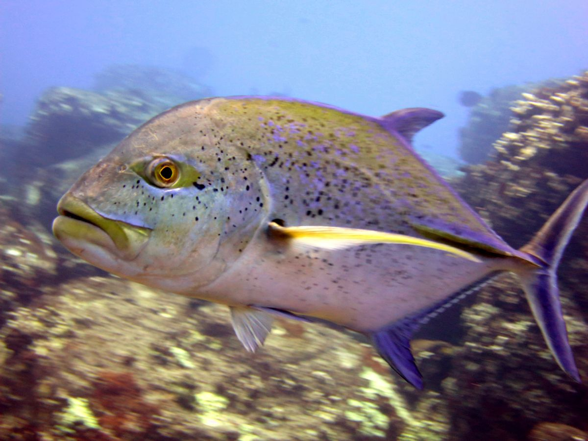 In this 2016 photo provided by NOAA, a bluefin trevally swims on a reef off Hawaii's island of Kahoolawe. U.S. officials say the first-ever assessment of Hawaii's reef fish shows that 11 of 27 species are experiencing some level of overfishing. Researchers with the National Oceanic and Atmospheric Administration's Pacific Islands Fisheries Science Center announced in a statement Monday, March 6, 2017 that 11 species including ulua, five surgeonfishes, two goatfishes, and three parrotfishes are being overfished. (Jeanette Clark/NOAA Fisheries via AP) (AP)