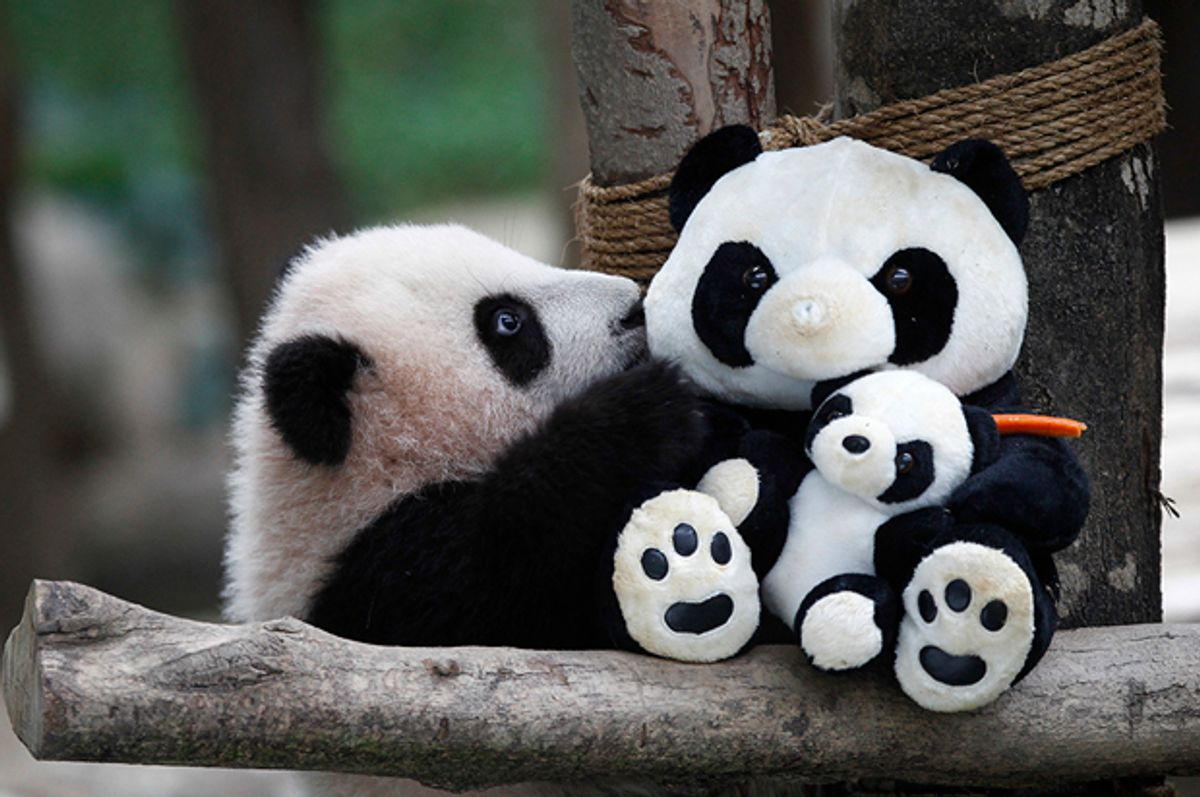 A 6-month old female giant panda cub, an offspring of Xing Xing, formerly known as Fu Wa and Liang Liang, formerly known as Feng Yi, plays with a soft-toy panda at the Giant Panda Conservation Center at the National Zoo in Kuala Lumpur, Malaysia, Thursday, Feb. 18, 2016. Two giant pandas have been on loan to Malaysia from China for 10 years since May 21, 2014, to mark the 40th anniversary of the establishment of diplomatic ties between the two nations. (AP Photo/Joshua Paul) (AP)
