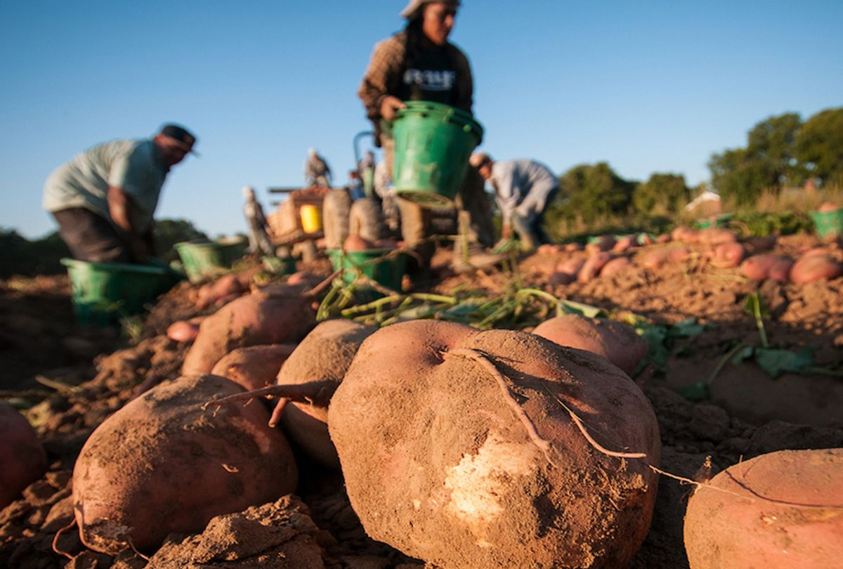Migrant workers harvesting sweet potatoes in Mechanicsville, Va.  (USDA/Civil Eats)