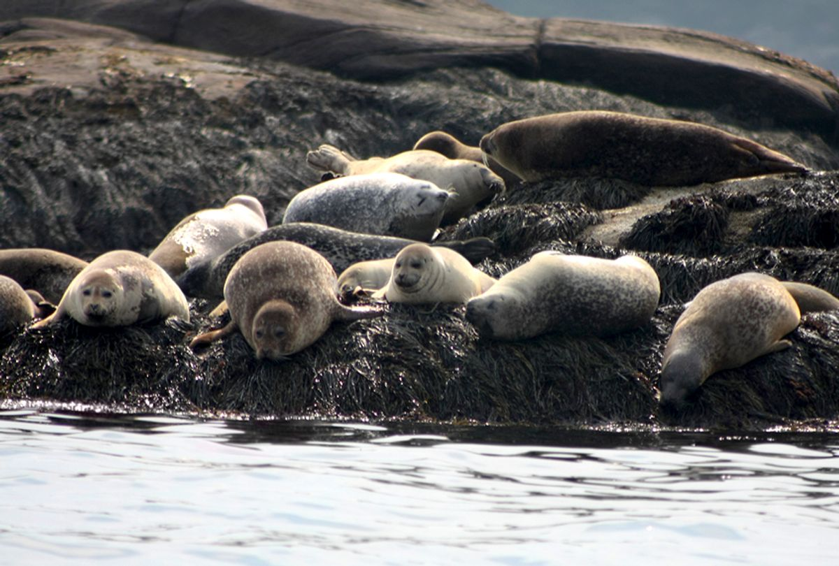 Harbor Seals in Boothbay, Maine (Getty/M00Nkey)