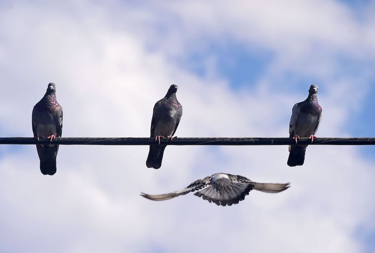 Three pigeons perched on a wire await a fourth flying in for a landing on August 31, 2016 in San Diego, California. (FREDERIC J. BROWN/AFP/Getty Images)
