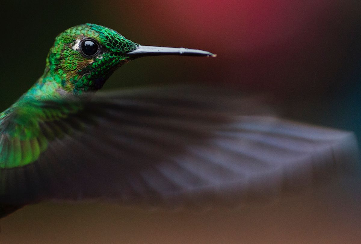 A Green Crowned Brilliant is pictured at a Hummingbird feeding station on January 15, 2016 in Alajuela, Costa Rica.  (Dan Kitwood/Getty Images)