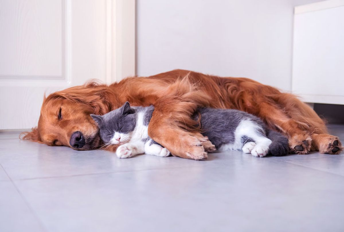Golden Hound and British short-haired cat (Getty Images/iStock)