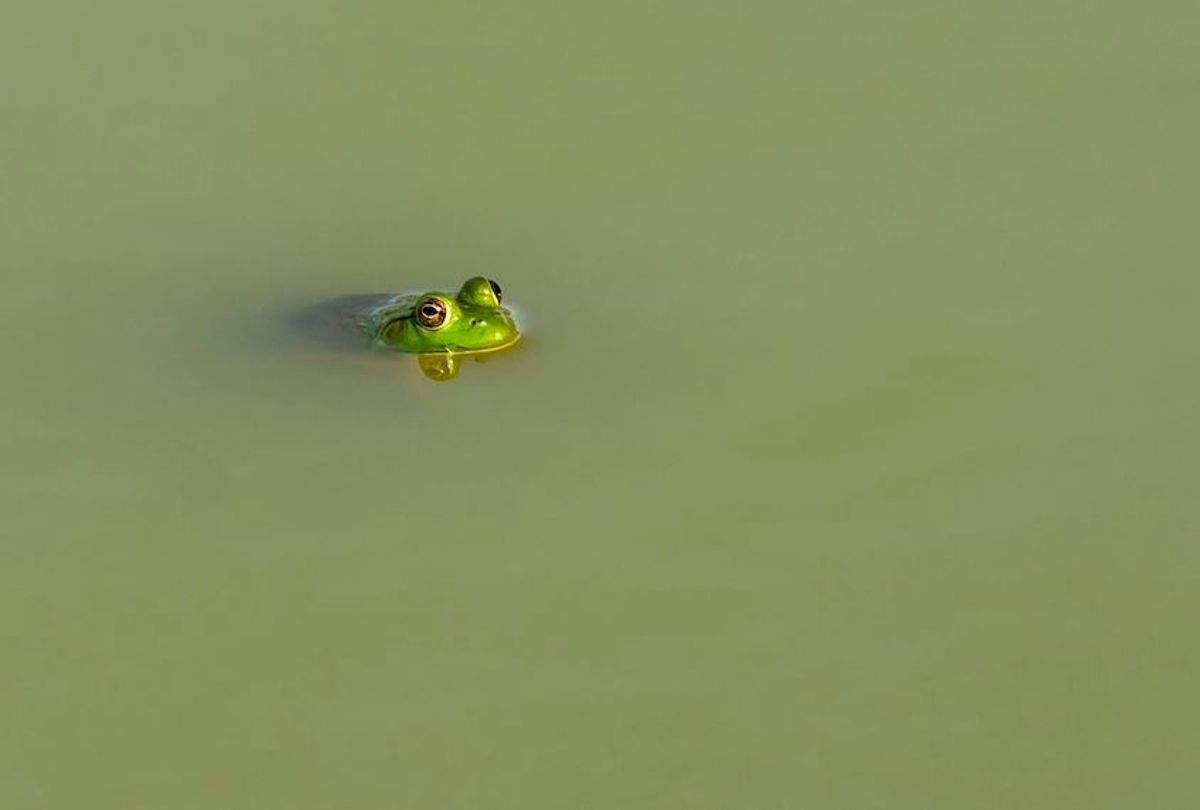 American bullfrog floating at the surface of a farm pond in Kentucky USA. (Photo by: Education Images/Universal Images Group via Getty Images) (Education Images/Universal Images Group via Getty Images)