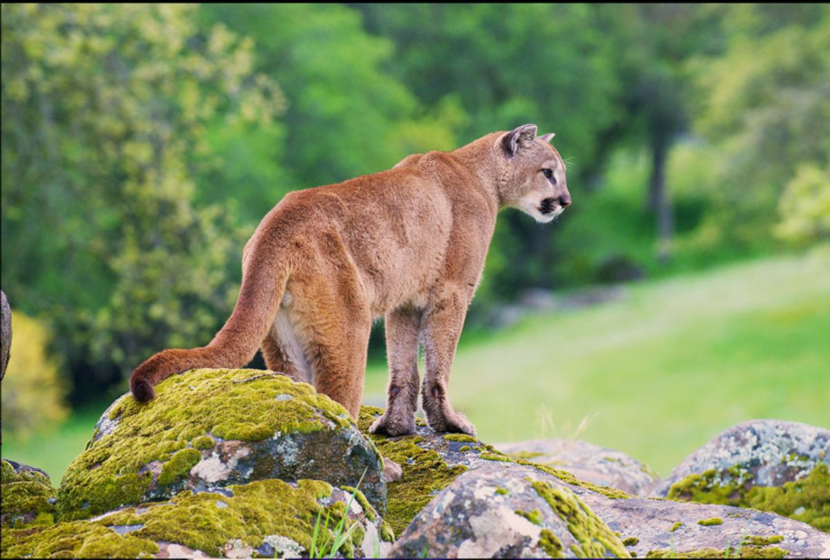 Mountain Lion on moss covered rocks (Getty Images/iStock)