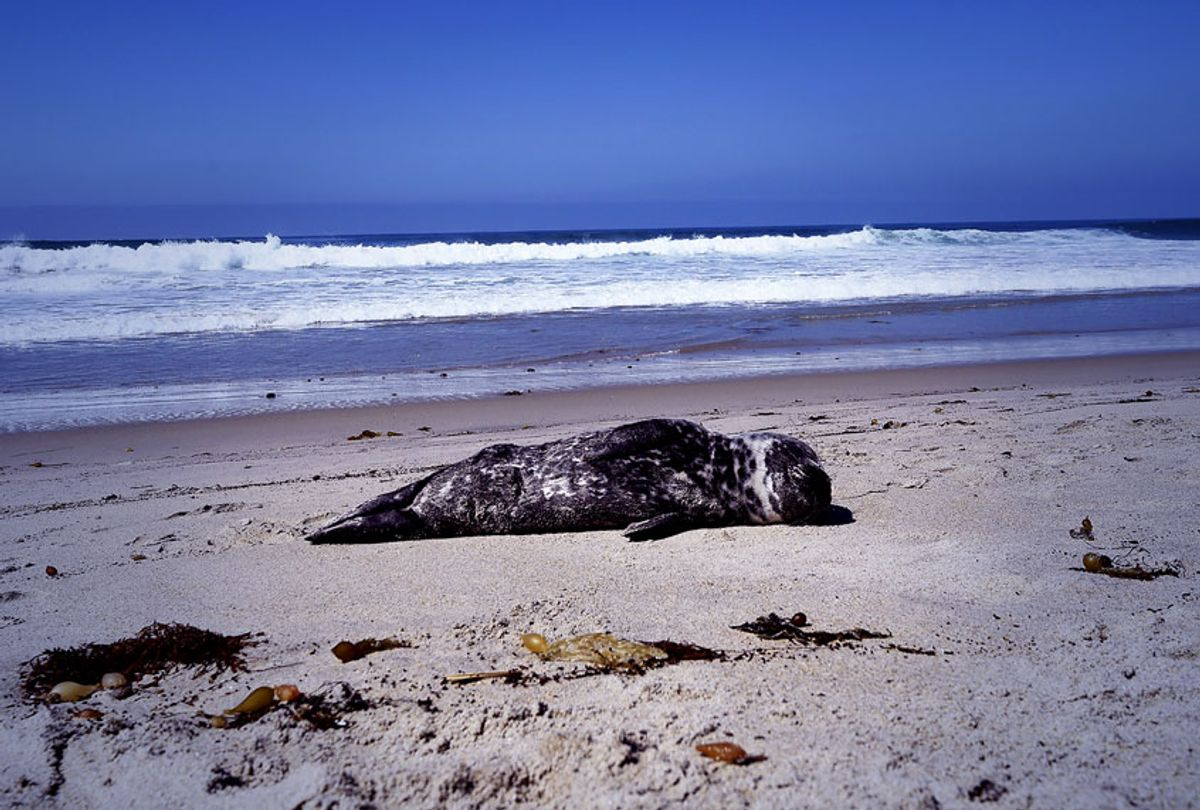 A distressed harbor seal pup lays stranded in the sand in Laguna Beach, California (ROBYN BECK/AFP via Getty Images)