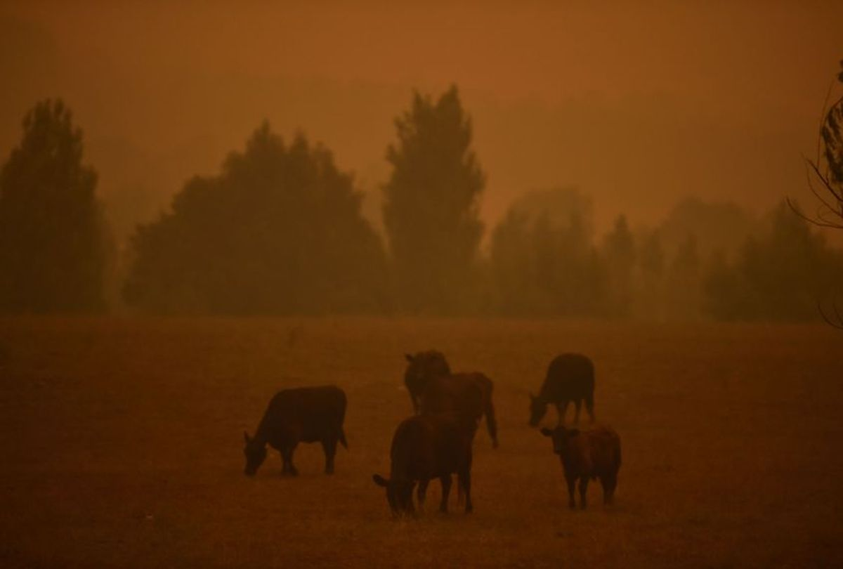 Cattle graze as the sky turns orange from bushfires in Towamba, 20km from Eden in southern New South Wales on January 10, 2020.  (Peter Parks/AFP via Getty Images)