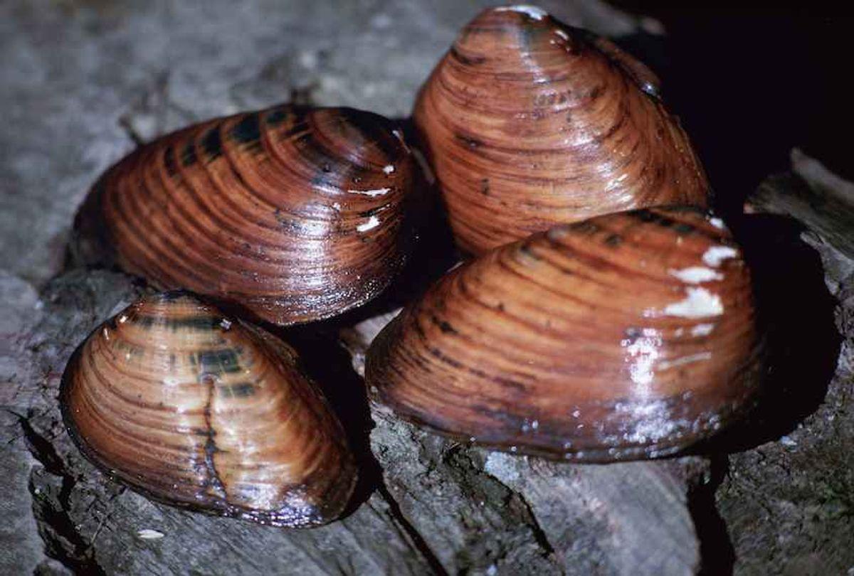 Clubshell mussel. (Stihler Craig, U.S. Fish and Wildlife Service/Public domain)