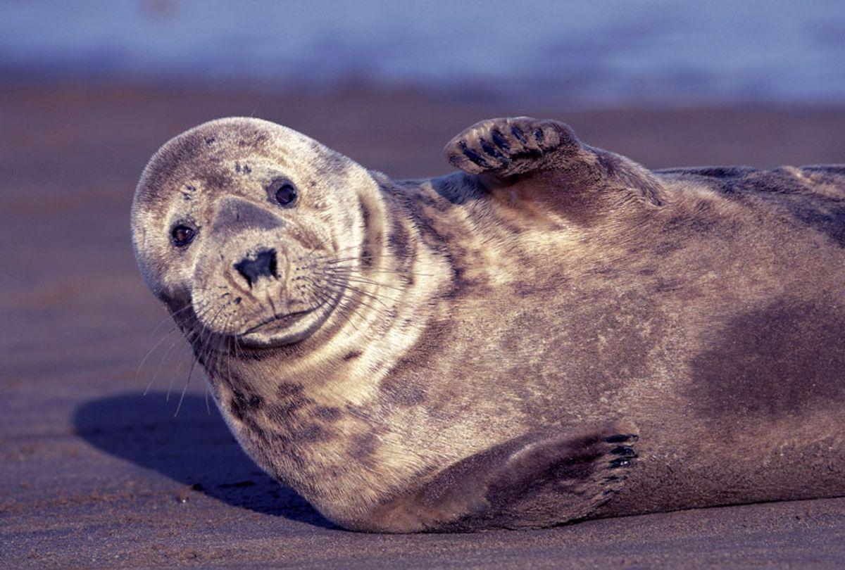 Gray seal (Halichoerus grypus) (Horst Jegen/McPhoto/ullstein bild via Getty Images)