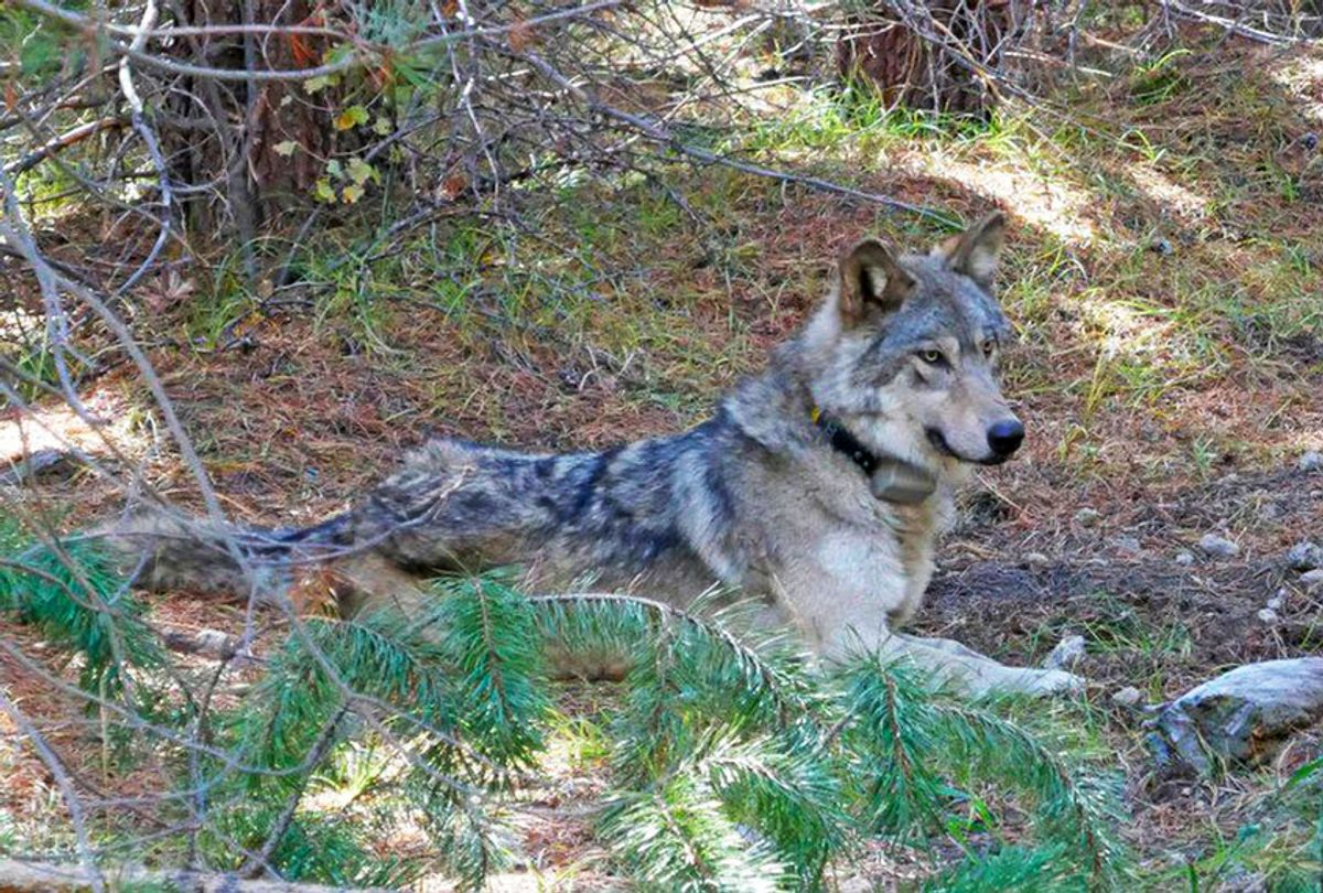 In this undated photo released by the U.S. Fish and Wildlife Service shows a dispersing wolf from the Oregon Pack OR-54, a descendent of the famous OR-7, the first wild wolf in California in nearly a century. The California Department of Fish and Wildlife says the 3- to 4-year-old female dubbed OR-54 was found on Wednesday, Feb. 5, 2020, in Shasta County, Calif. It's not clear yet whether she died by accident, naturally or was deliberately and illegally killed.  (U.S. Fish and Wildlife Service/AP Photo)