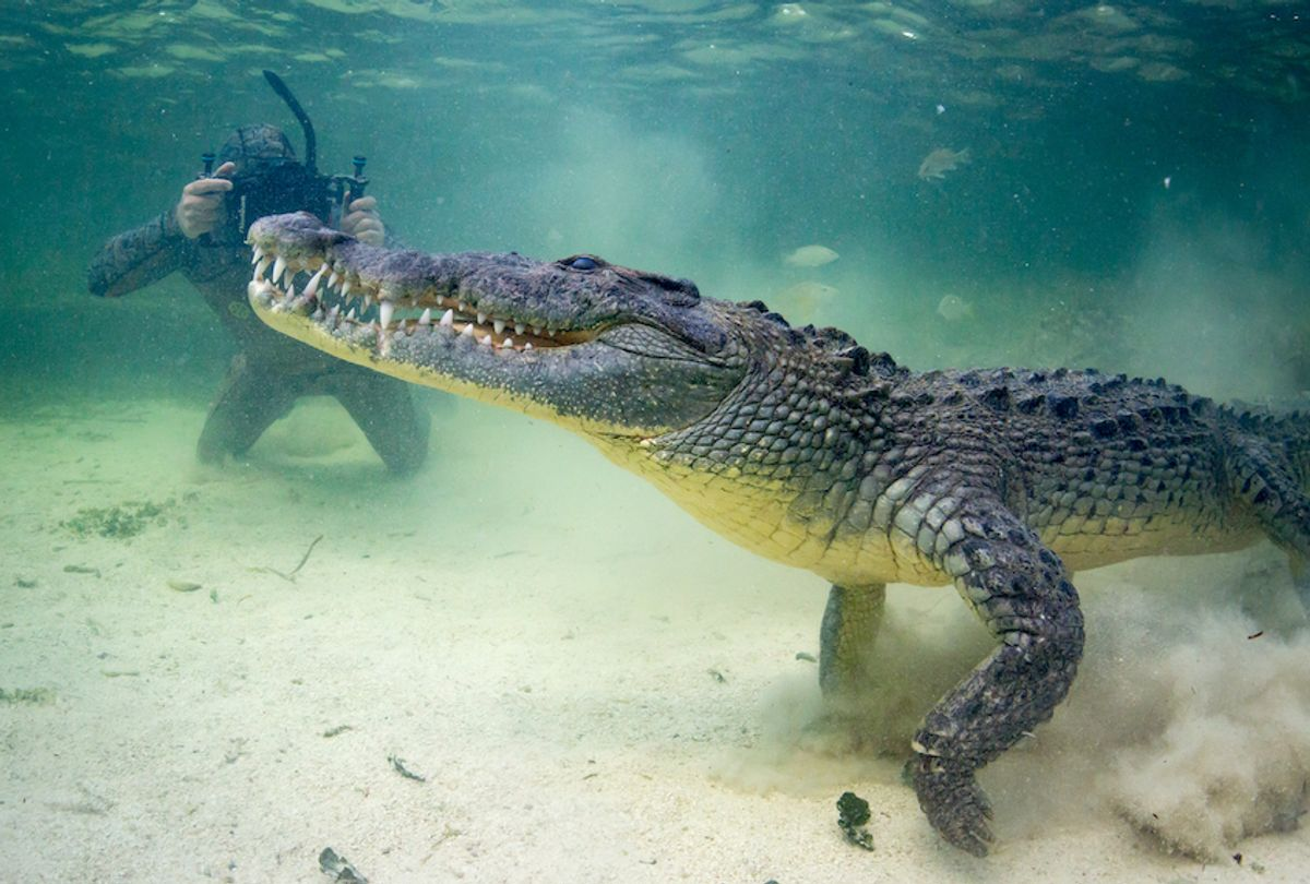 Forrest Galante films a crocodile in June 2016. (Mark Romanov & Forrest Galante / Barcroft Images / Getty Images)