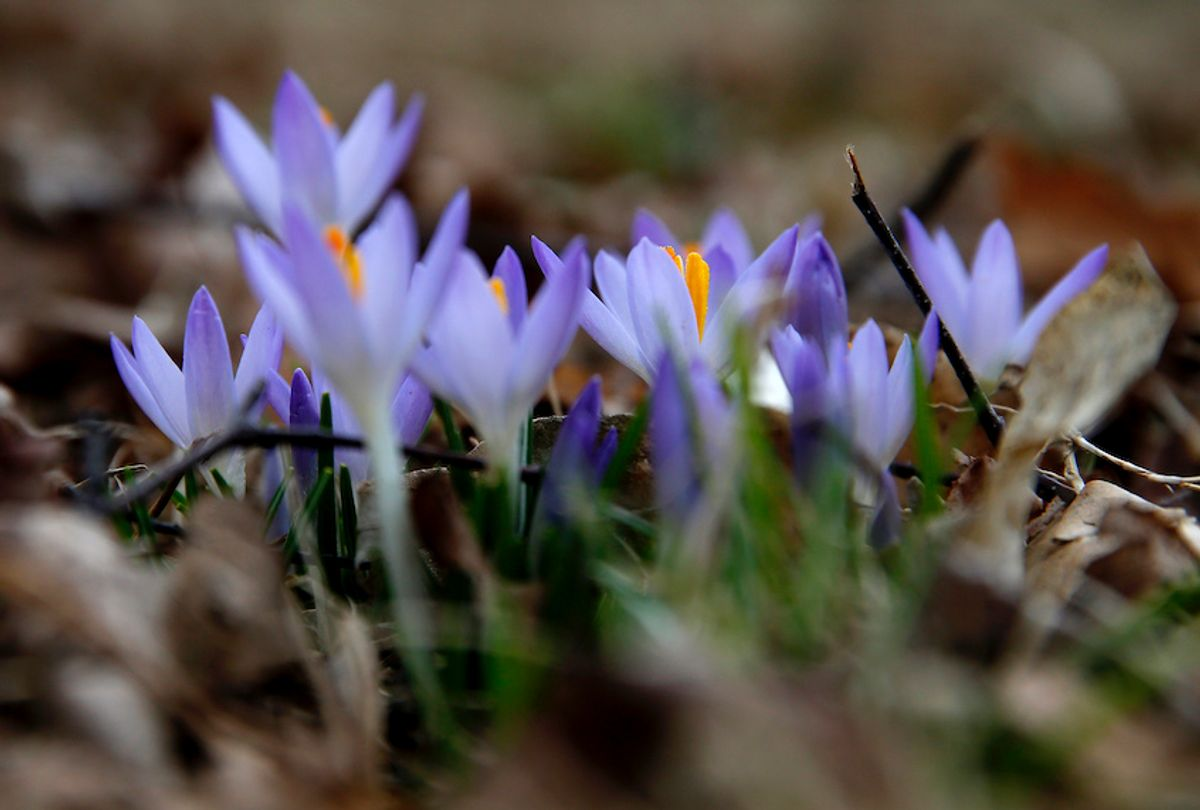 Crocuses bloom in the Arnold Arboretum on March 4, 2020, as the first signs of spring bloom in Boston's Jamaica Plain.  (Jessica Rinaldi/The Boston Globe via Getty Images)