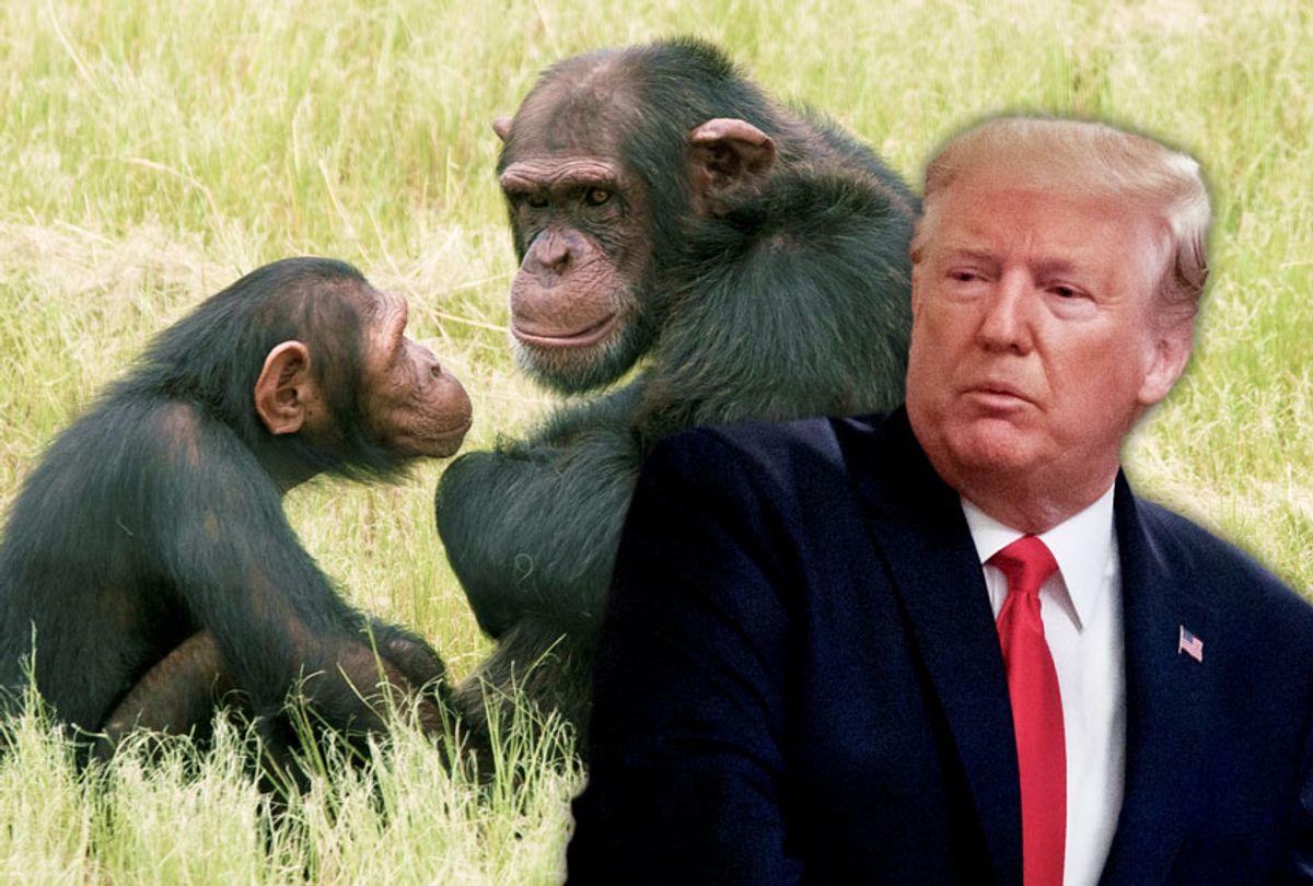 Donald Trump | Chimpanzees (AP Photo/Salon)
