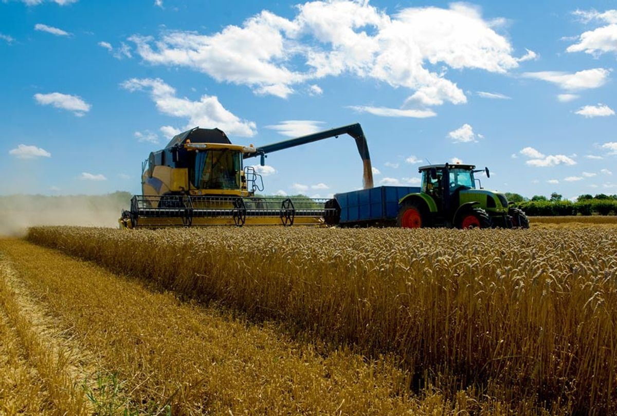 Thresher harvesting wheat (Getty Images)