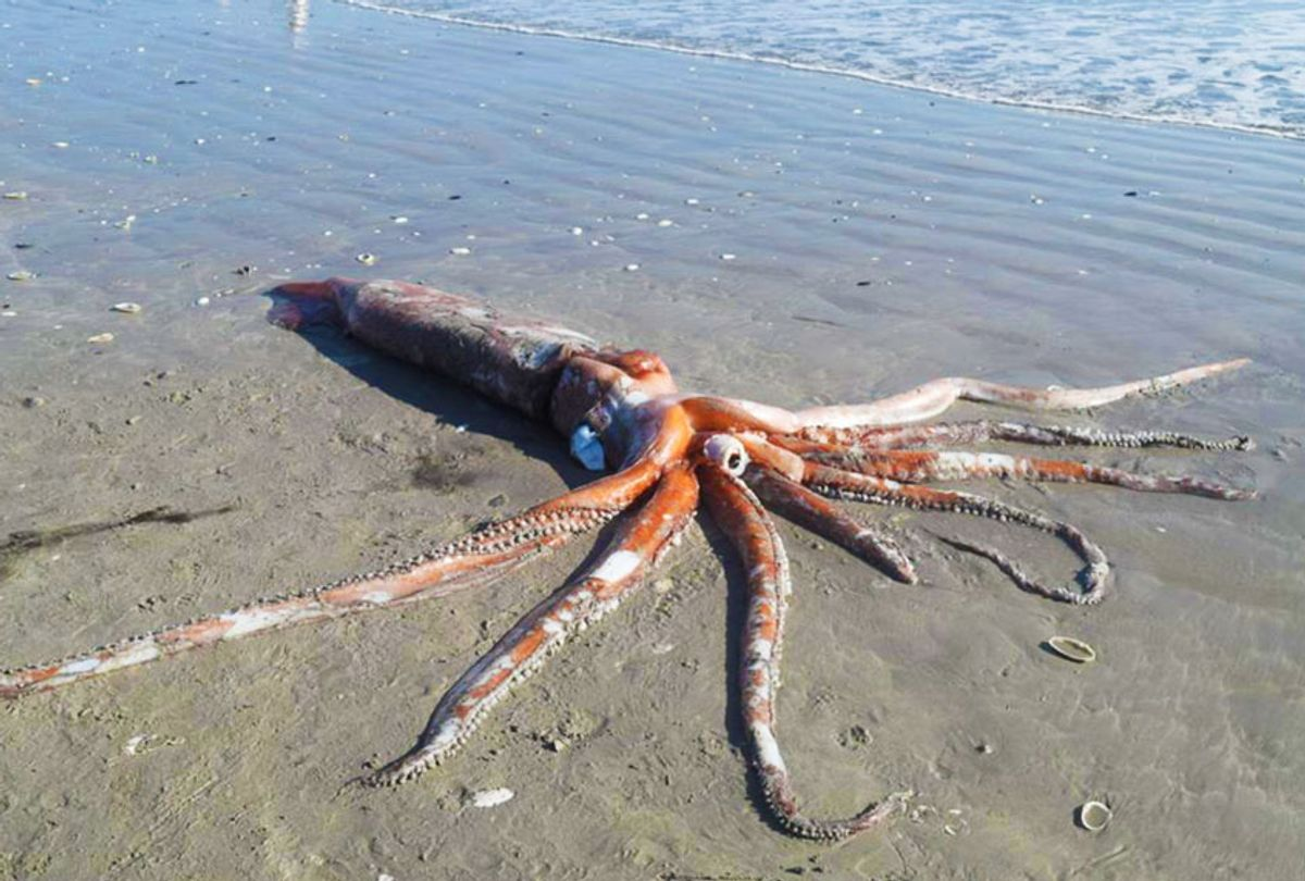Rare giant squid specimen is washed up on Golden Mile Beach in Brittania Bay on Sunday, 7 June 2020. (Adéle Grosse © Iziko Museums of South Africa.)