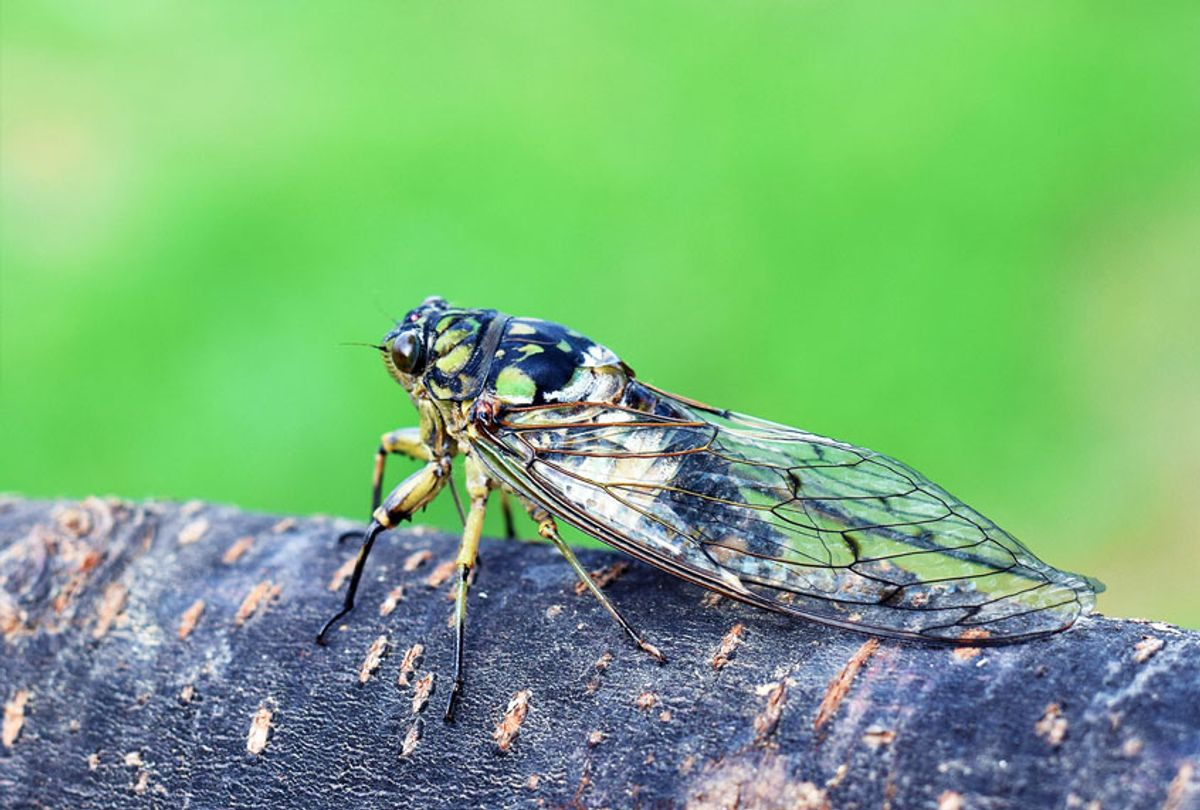 Close-Up Of Cicada On A Tree (Getty Images)