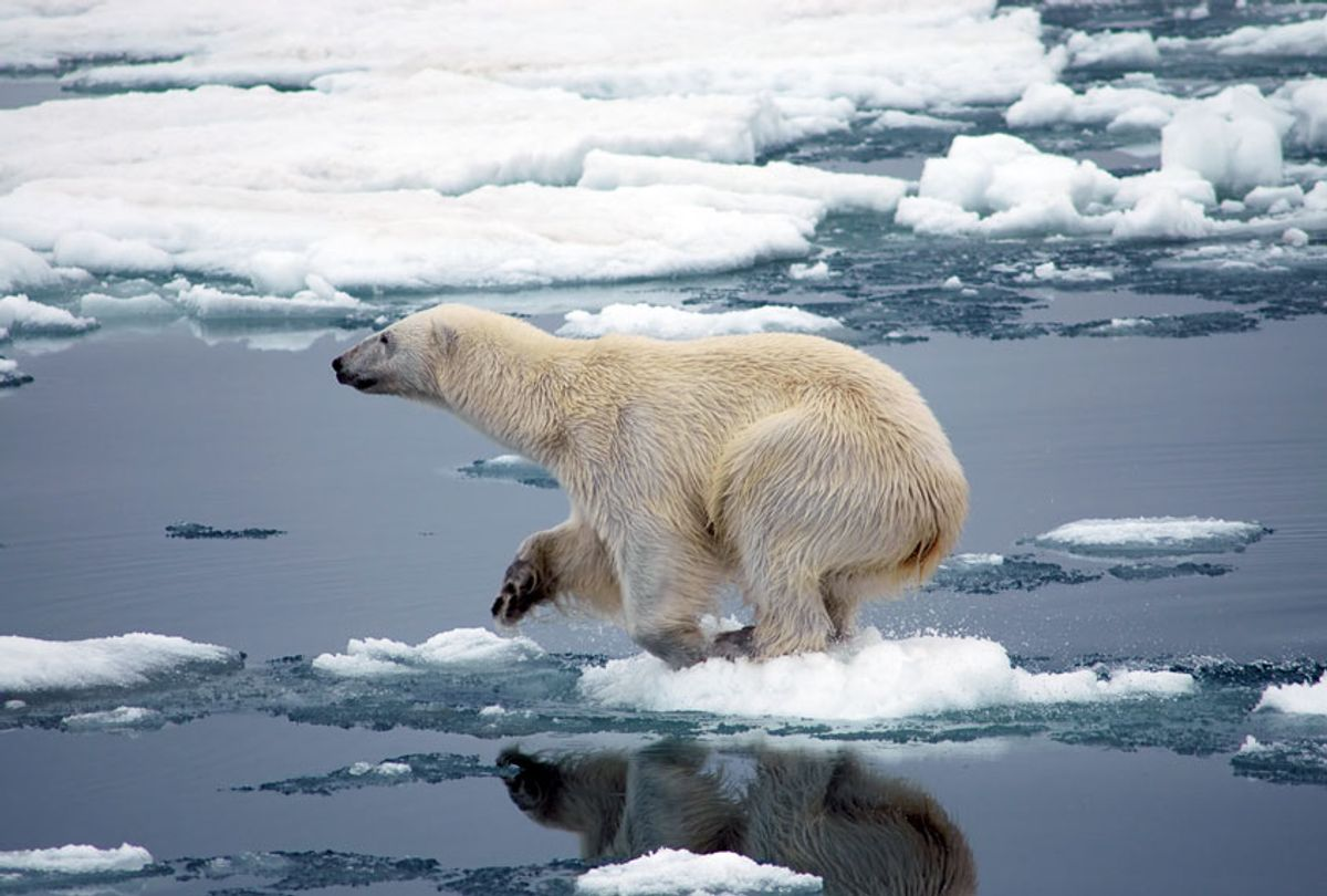 A large polar bear getting ready jump of a small piece of ice (Getty Images)