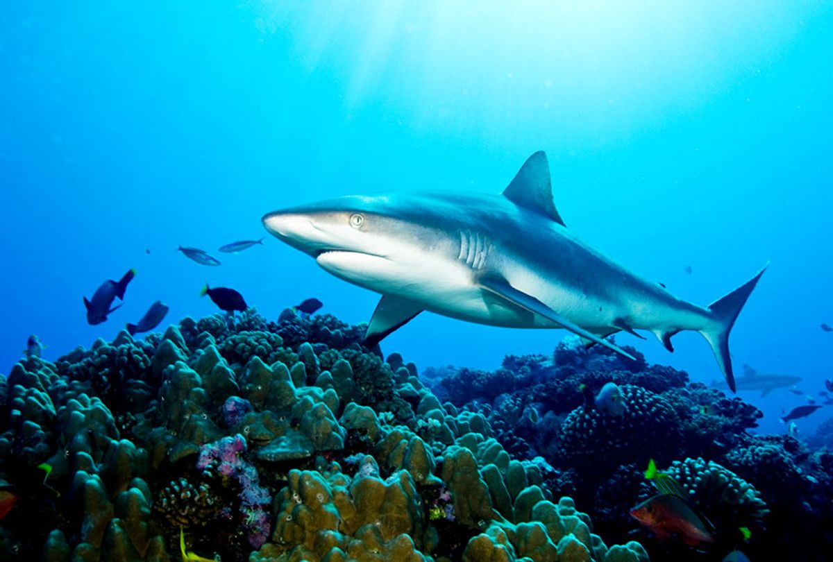 Gray Reef Shark (Getty Images)