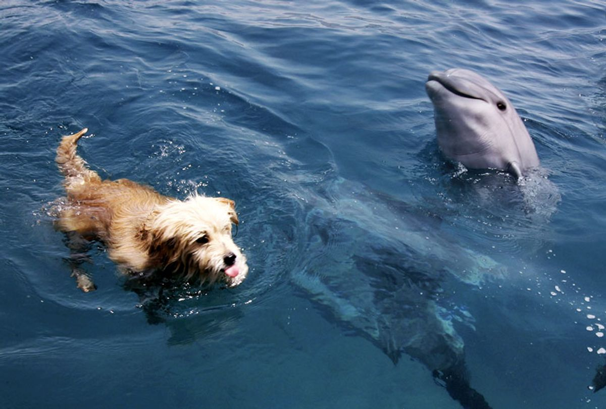 A dog and dolphin enjoy a swim together in the Israeli Red Sea resort of Eilat. (David Silverman/Getty Images)