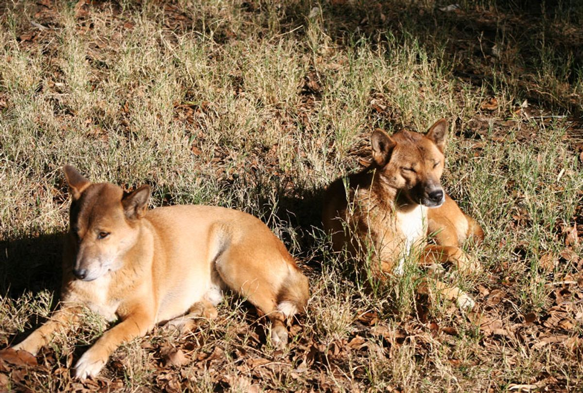 New Guinea singing dogs resting (Getty Images)