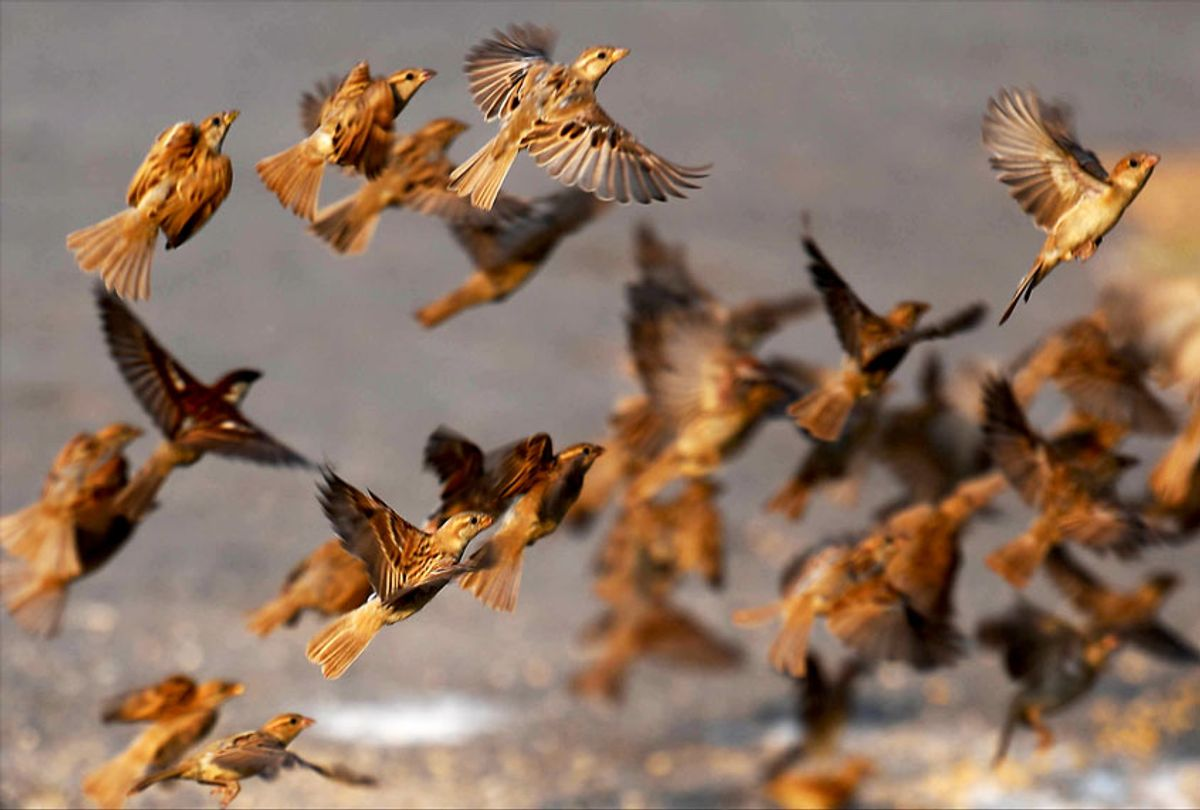 Sparrows taking flight (Getty Images)