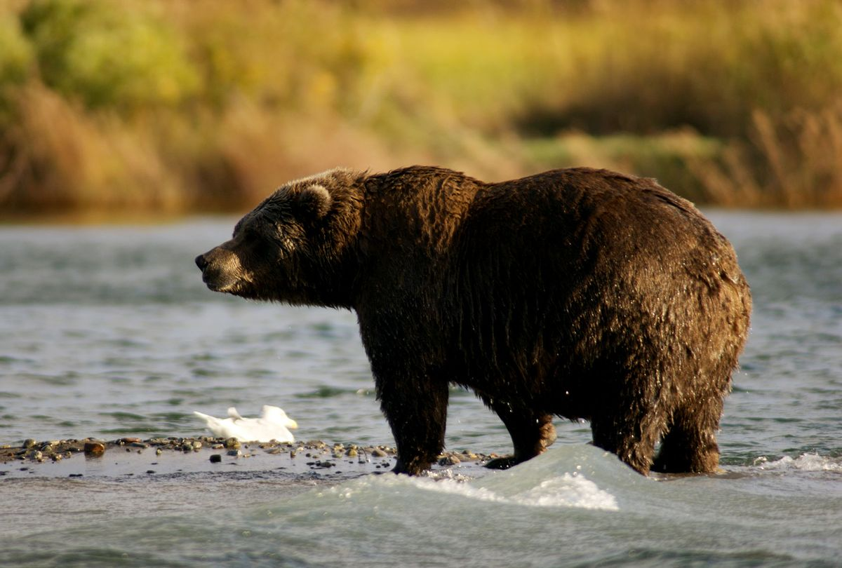 Bear standing near mouth of Brooks River (U.S. National Park Service)