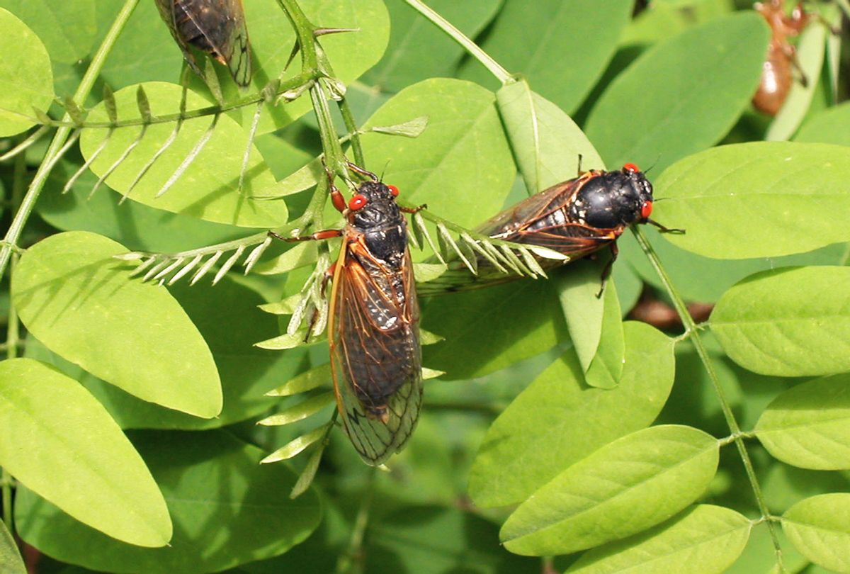 After 17-years living below ground, billions of cicadas belonging to Brood X are beginning to emerge across much of the eastern United States. The cicadas shed their larval skin, spread their wings, and fly out to mate, making a tremendous noise in the process. (Richard Ellis/Getty Images)