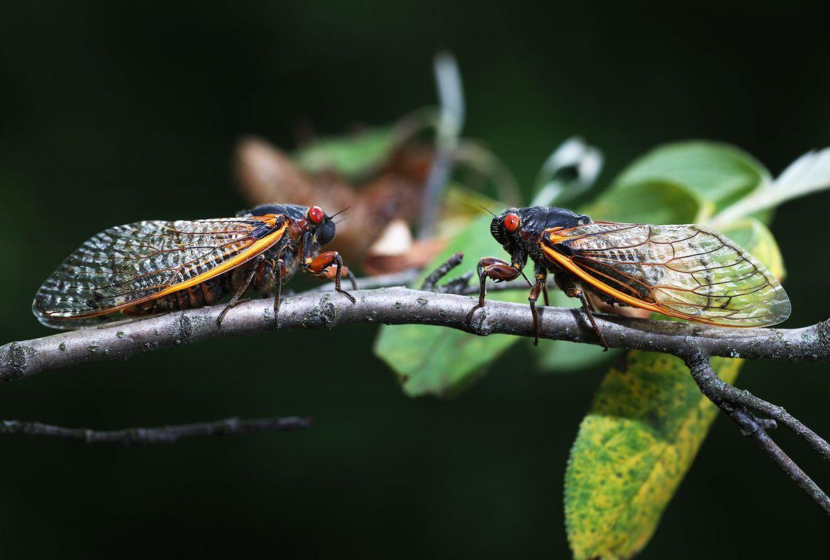 Cicadas (Chip Somodevilla/Getty Images)