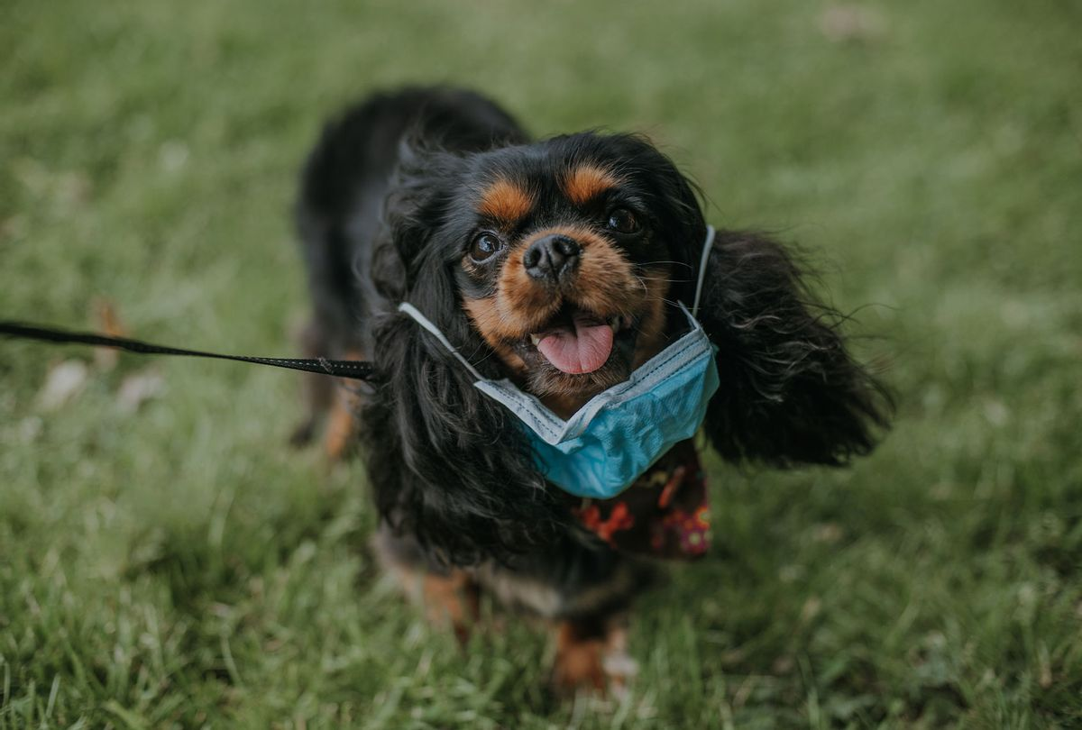 Cavalier King Charles Spaniel Dog wearing a medical mask (Getty Images)