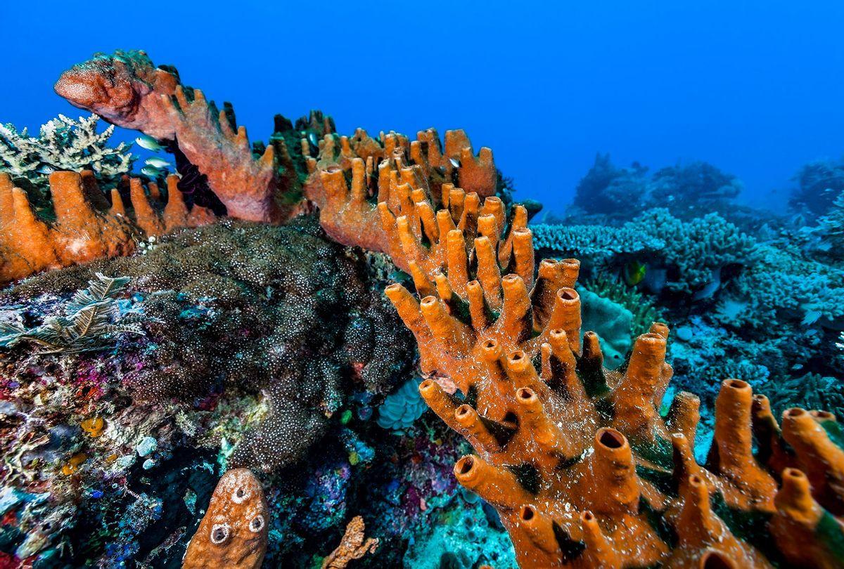 Very Large Sponge Petrosia hoeksemai (Petrosiidae) (Getty Images)