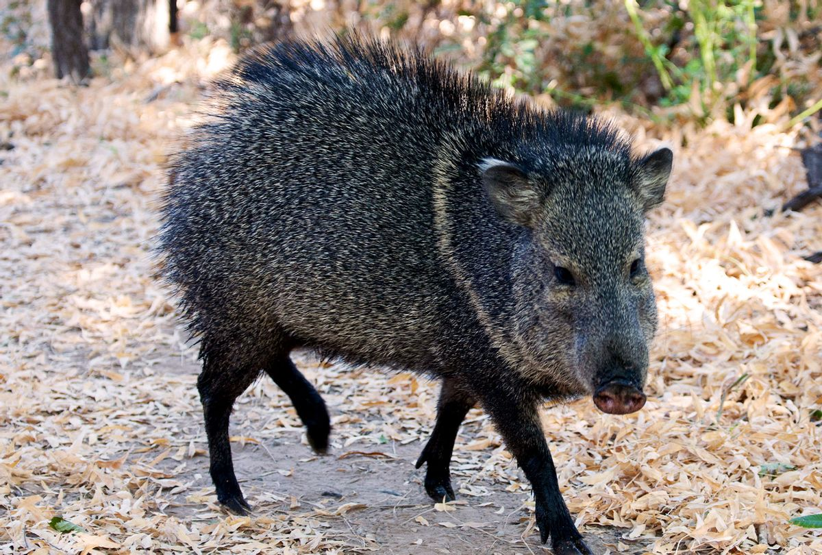 Wild Hog at Texas, Big Bend National Park (Education Images/Universal Images Group via Getty Images)