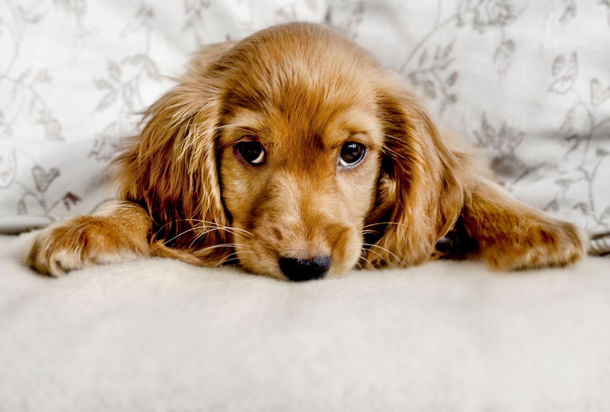 Cute Cocker Spaniel Puppy (Getty Images)
