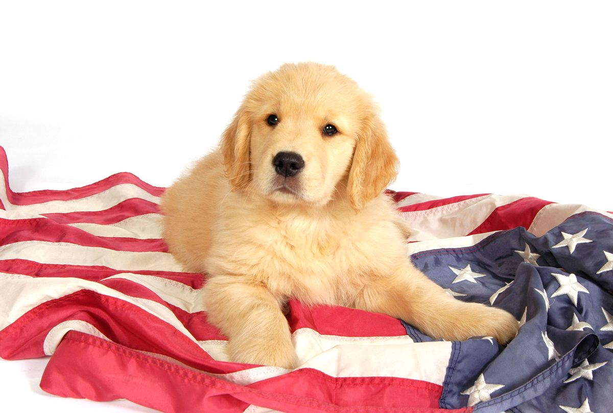 Golden retriever puppy laying on an American flag (Getty Images/Mike Bagley)
