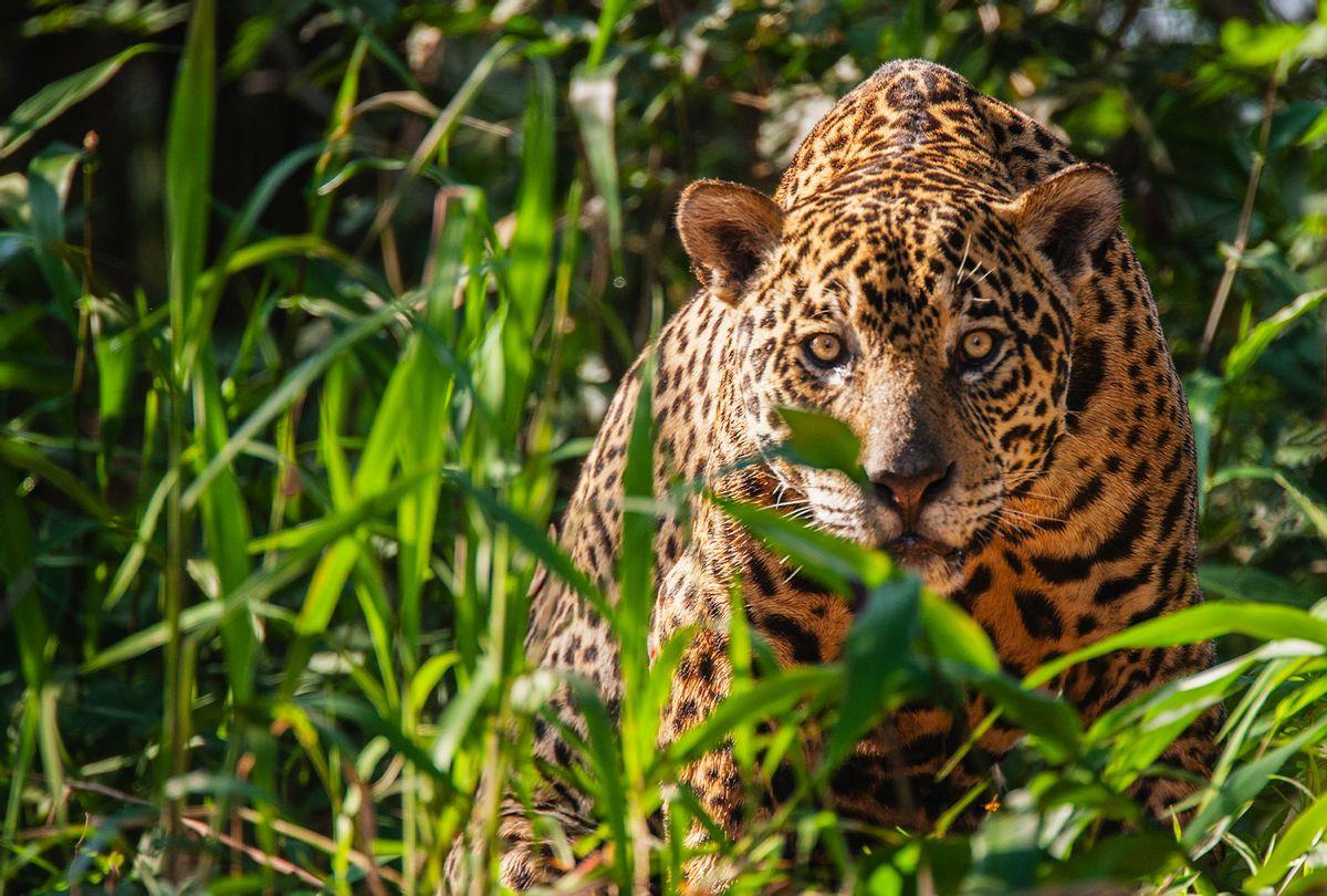 A wild jaguar (Getty Images)