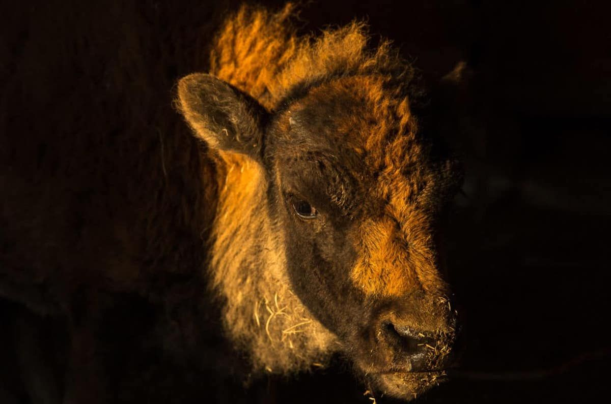 This bison calf, standing in the doorway of a barn on the Blackfeet Reservation, is a symbol of hope for the Blackfoot people. (Louise Johns / Undark)