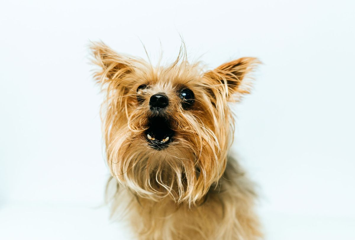 Barking Yorkshire Terrier (Getty Images/F.J. Jimenez)