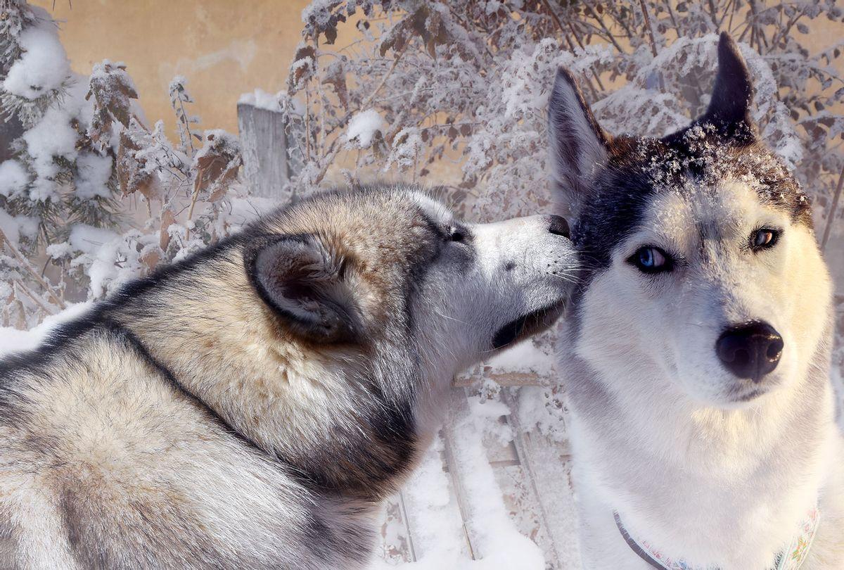 Gossiping Malamutes (Getty Images)