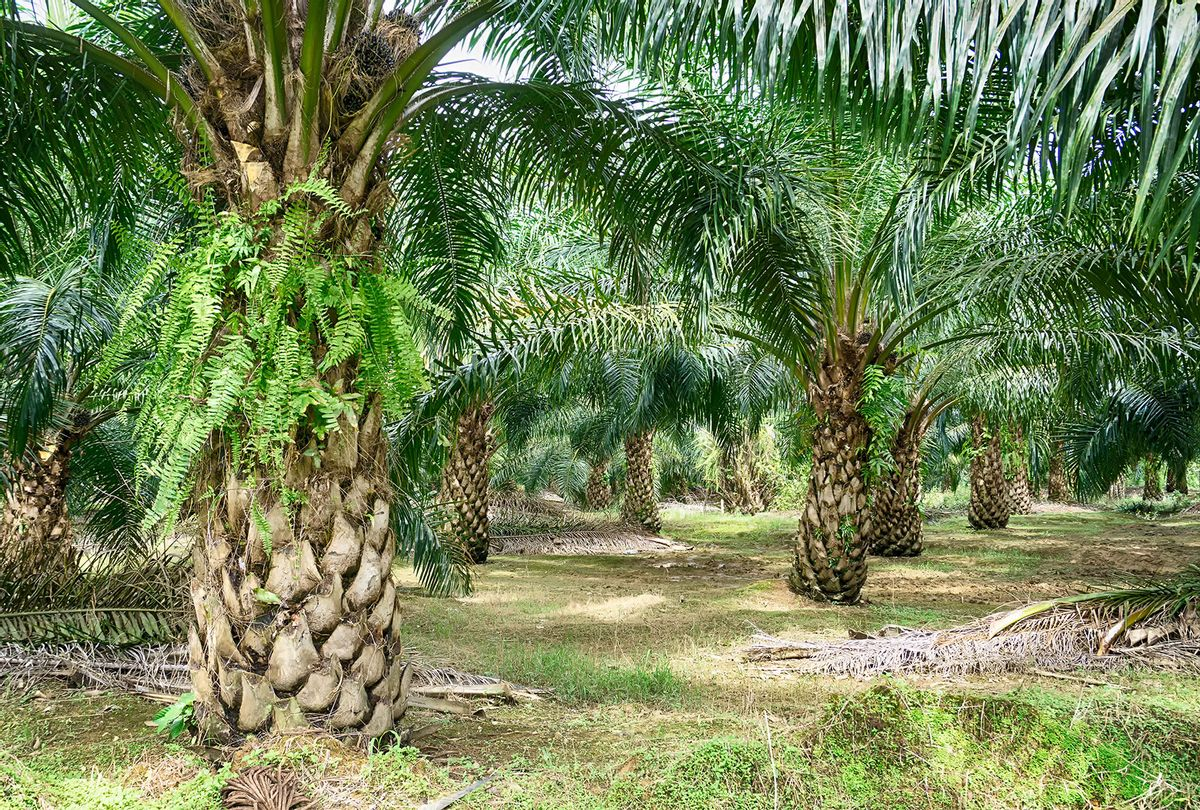 Oil Palm Plantation in Malaysia (Getty Images/Nora Carol Photography)
