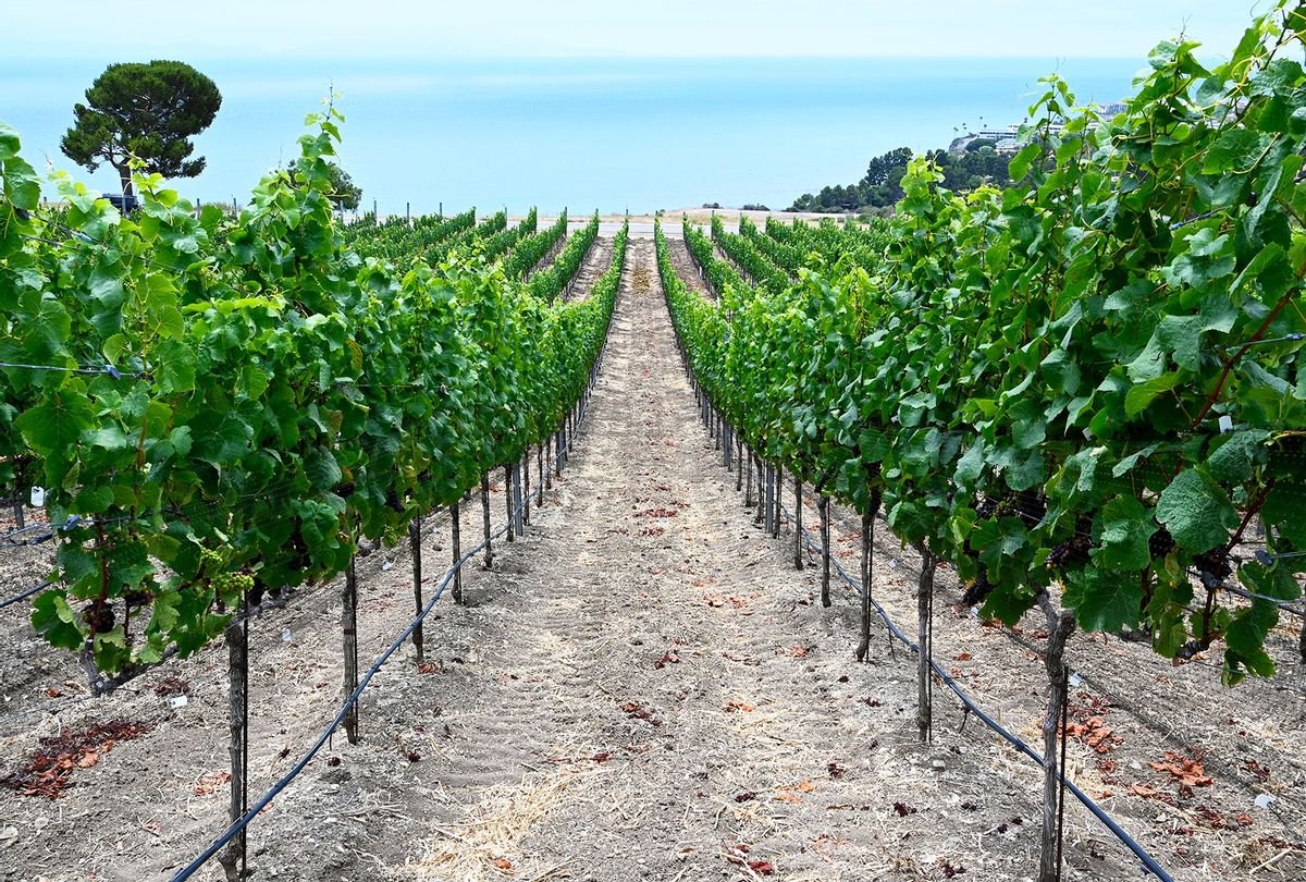 The Catalina View Wines vineyard in Rancho Palos Verdes, CA on Monday, July 12, 2021 (Brittany Murray/MediaNews Group/Long Beach Press-Telegram via Getty Images)
