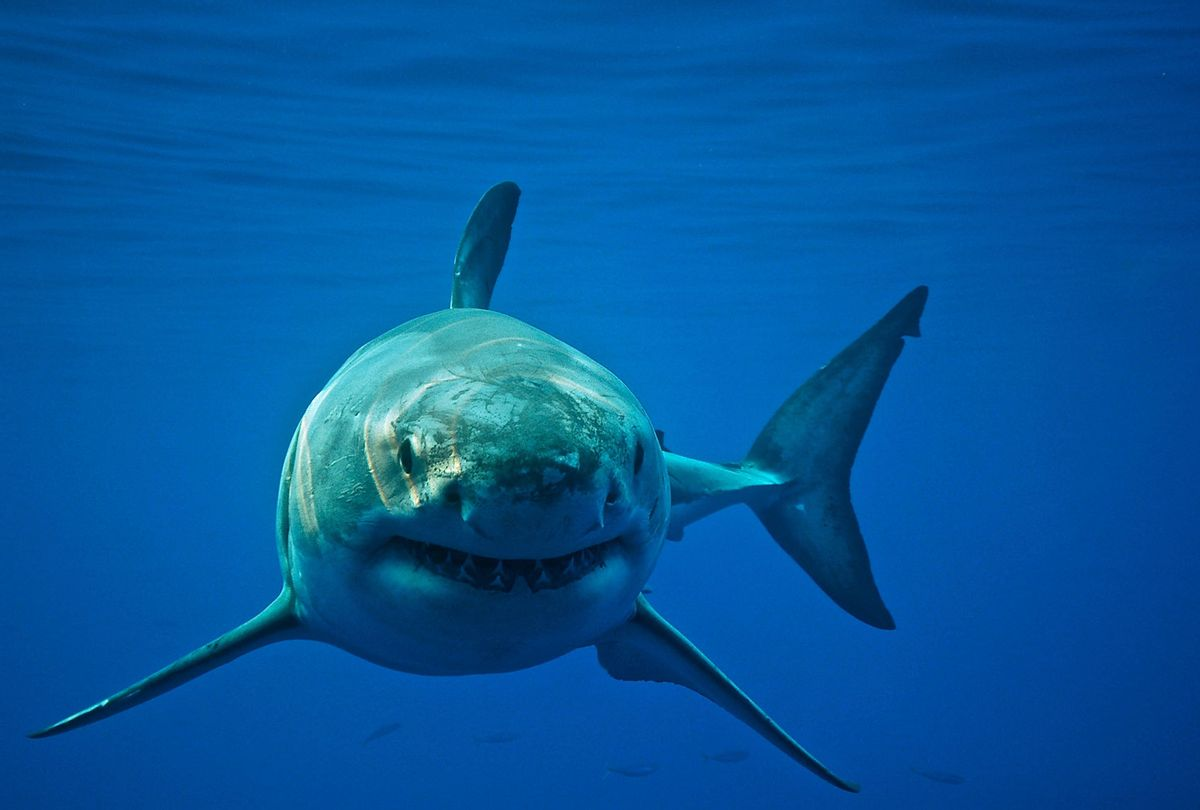 Great White Shark cruises through the ocean displaying its power and grace that many people fear. (Getty Images/Cat Gennaro)