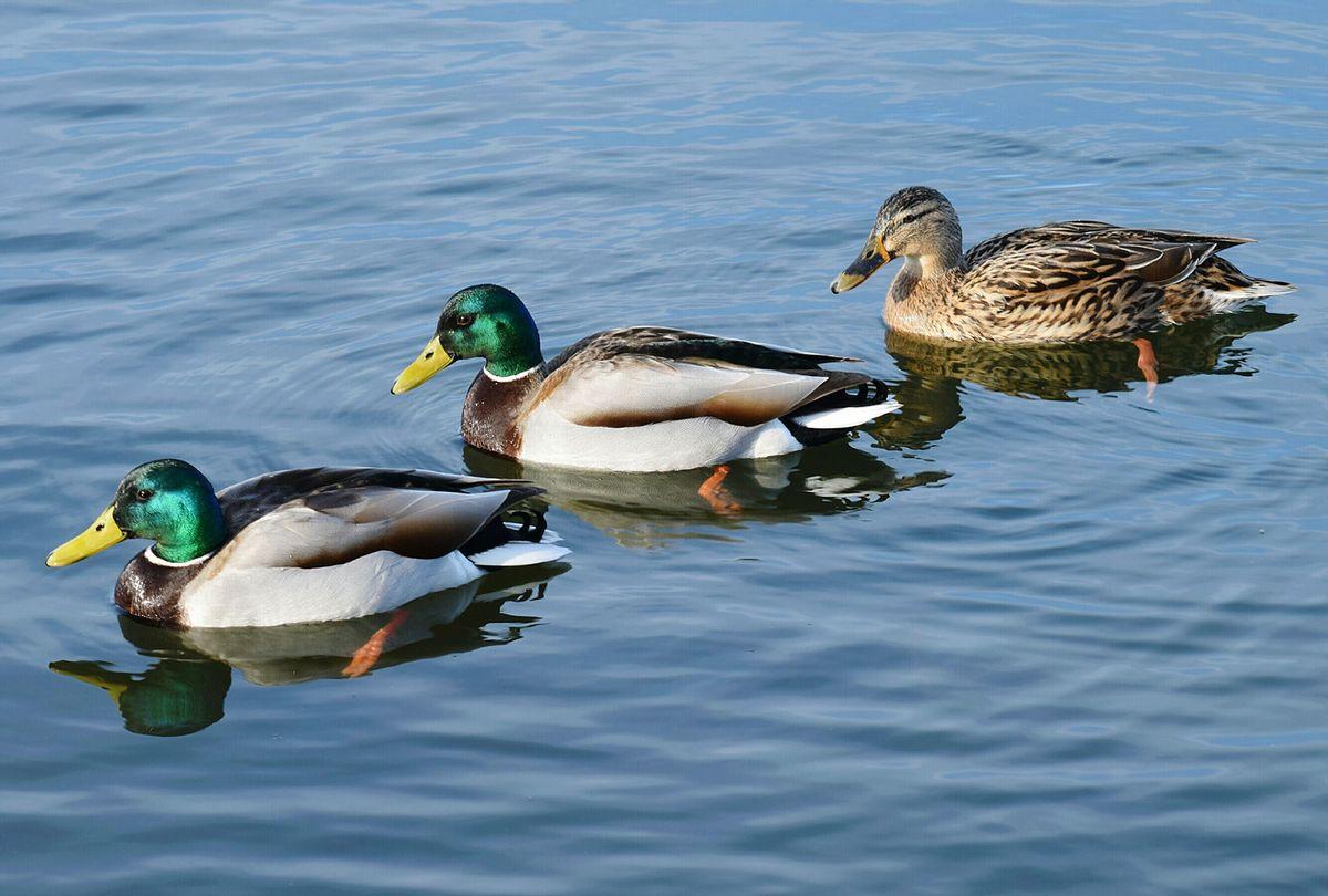 Mallard Ducks Swimming In Lake (Getty Images/Colin Drewery)