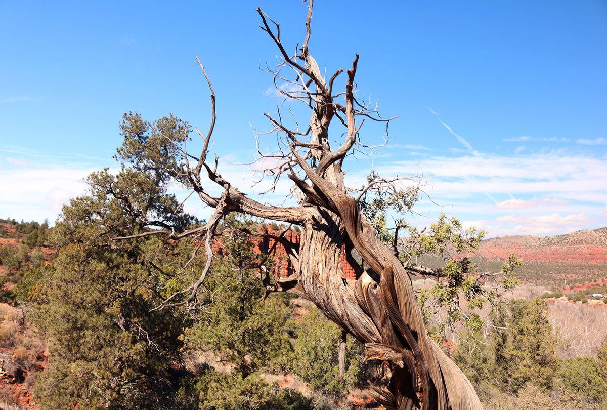 Juniper tree trunk in Sedona, AZ (Getty Images/Laurie Drake)