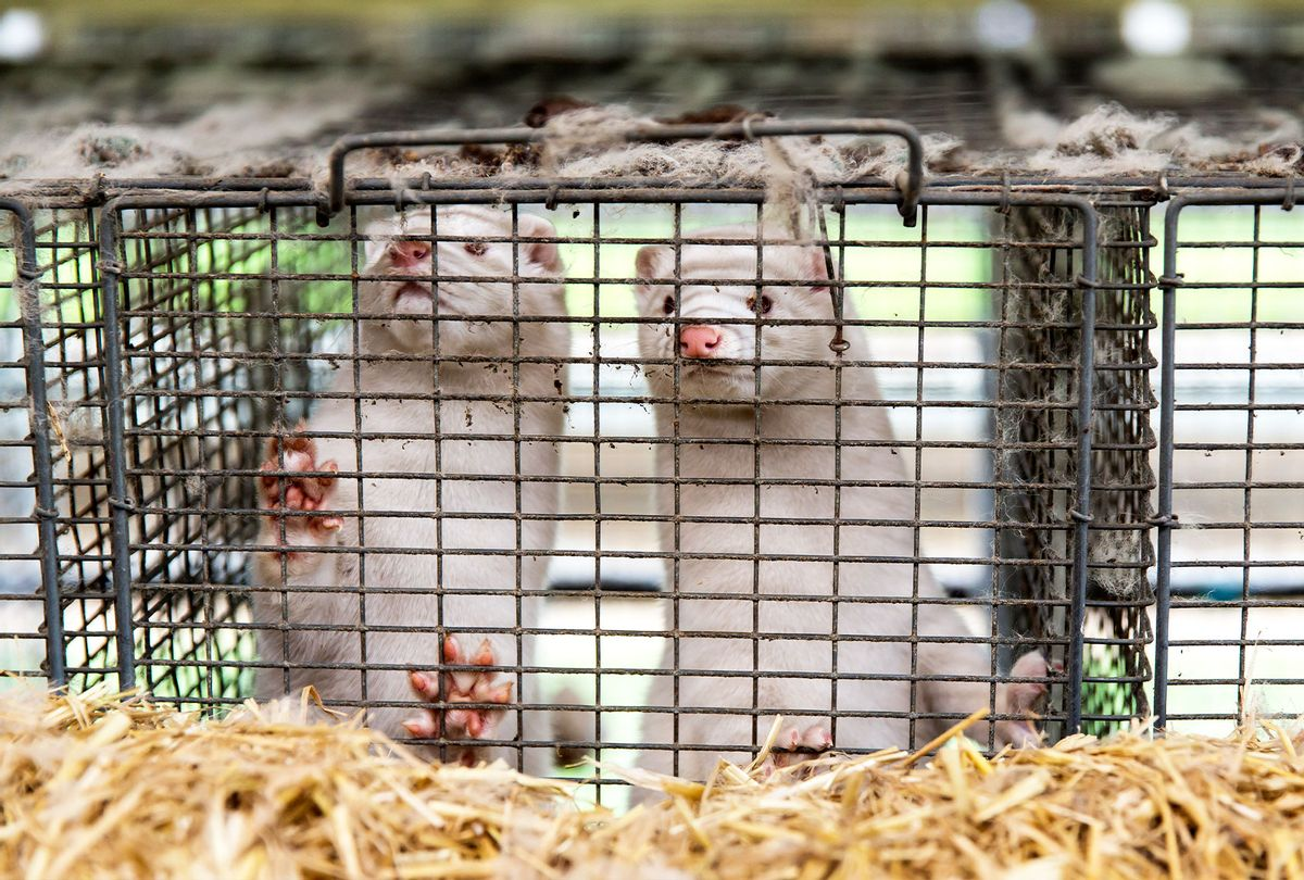 Minks at farm (Ole Jensen/Getty Images)