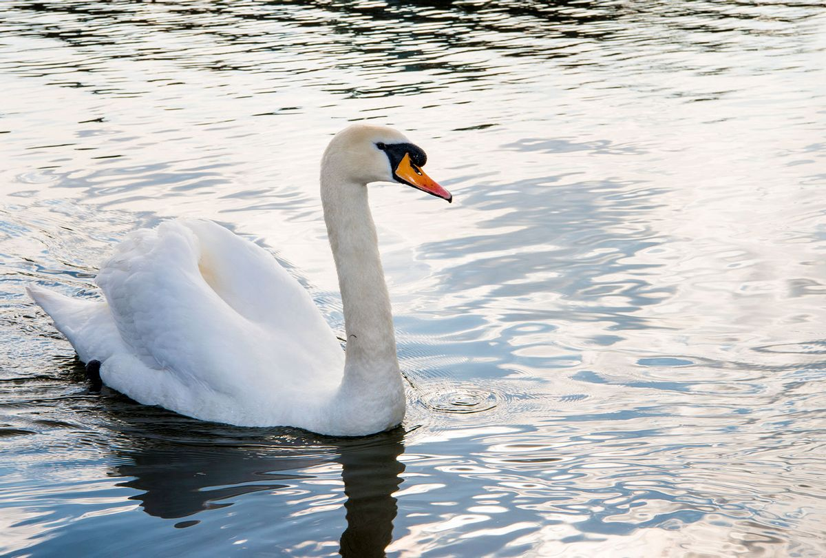 Mute swan in lake (Getty Images/James Warwick)