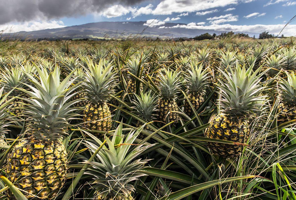 Pineapple Plantation in Maui, Hawaii (Getty Images/Daisuke Kishi)