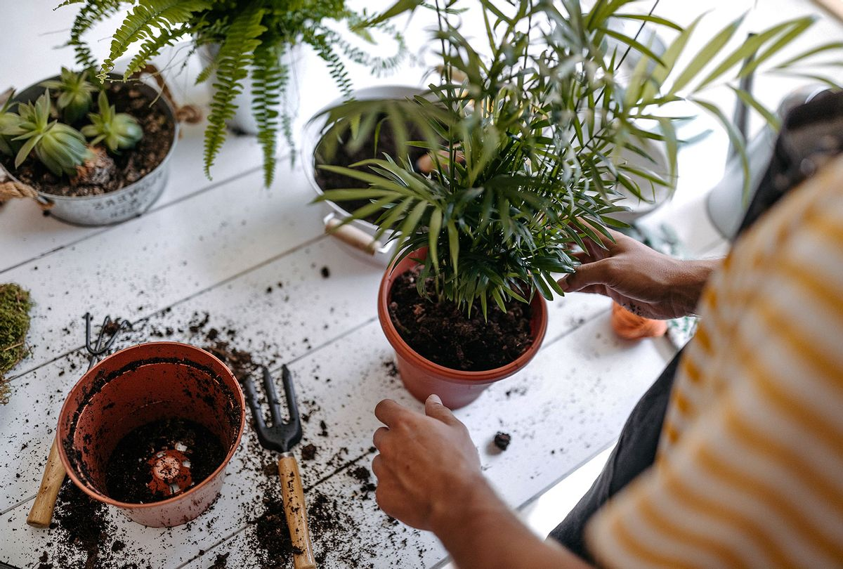 Transplanting potted plants (Getty Images)