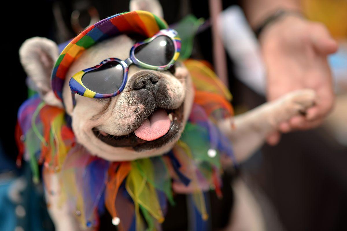 "Marleen Puzak of Denver celebrates the 2014 Denver Pridefest with her French Bulldog ""Beignet"" at Civic Center Park. Denver, Colorado. (Hyoung Chang/The Denver Post via Getty Images))"