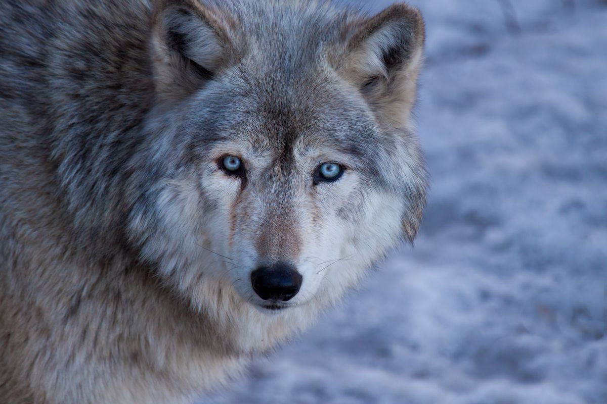 Gray Wolf (Getty Images/Straublund Photography)
