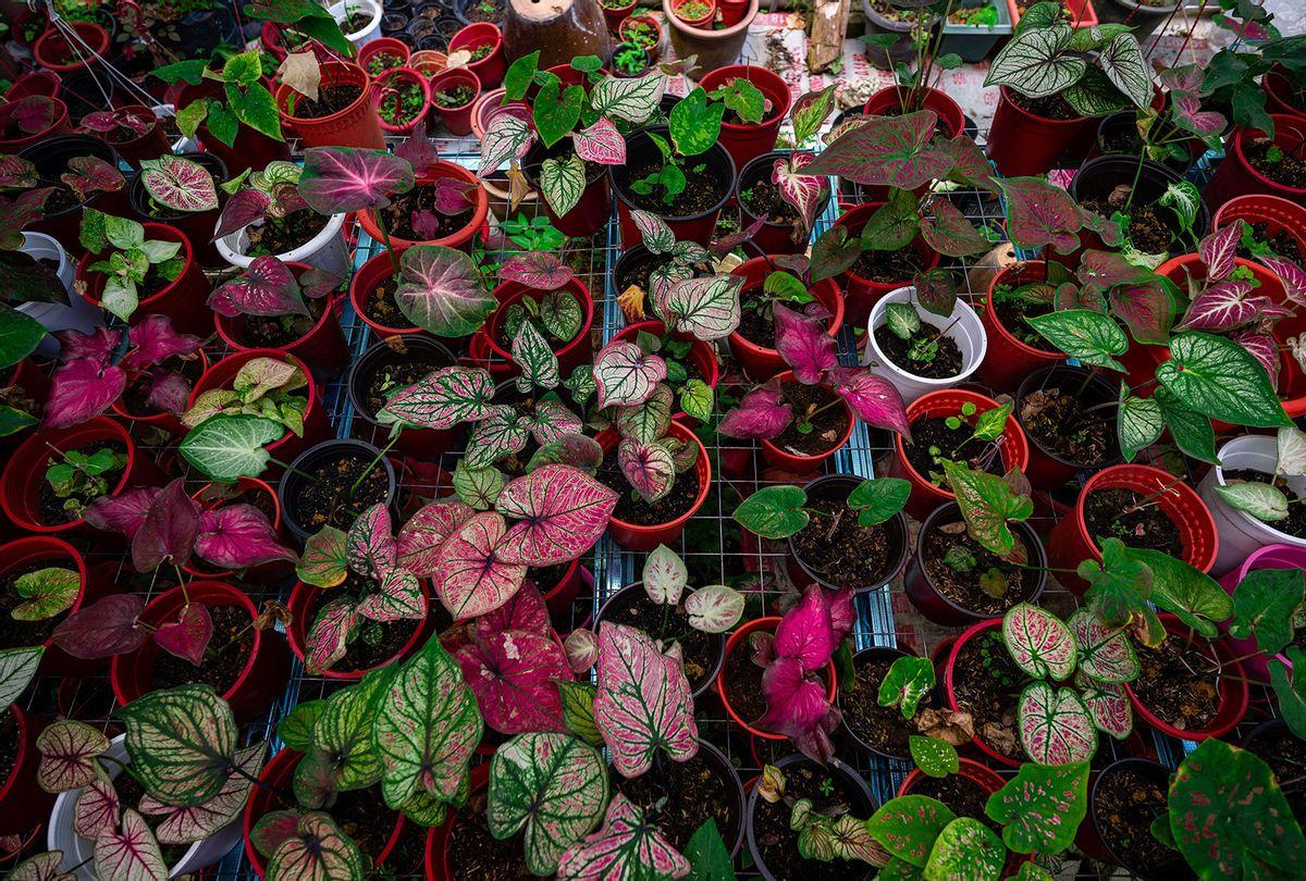 Caladium plants for sale at a nursery in Sungai Besar (MOHD RASFAN/AFP via Getty Images)