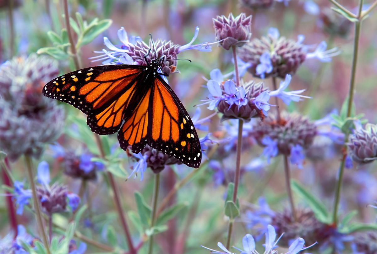 Monarch Butterfly (Getty Images/Claude LeTien)